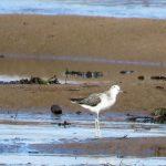 Greenshank Findhorn Bay 25 Aug 2017 Alison Ritchie