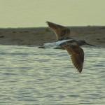 Greenshank Lossie estuary 15 May 2014 David Main 2