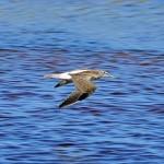 Greenshank Lossie estuary 7 Aug 2014 Gordon Biggs 2