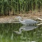 Grey Heron Loch Spynie 24 Jun 2015 1
