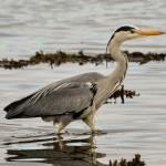 Grey Heron Lossie estuary 14 Apr 2014 David Main