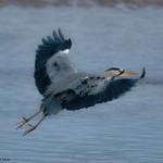 Grey Heron Lossie estuary 14 Jan 2014 David Main