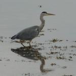 Grey Heron Lossie estuary 17 Oct 2013 Bob Proctor