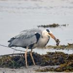 Grey Heron Lossie estuary 21 June 2014 Gordon Biggs