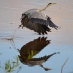 Grey Heron Tugnet 13 Aug 2013 Lenny Simpson