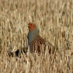 Grey Partridge Mid Mains 29 Jan 2018 Gordon Biggs 1