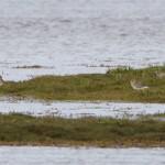 Grey Plover Findhorn Bay 24 Sept 2014 Richard Somers Cocks