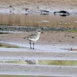 Grey Plover Lossie estuary 13 Oct 2013 Gordon Biggs 2