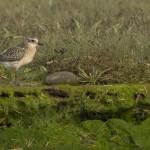 Grey Plover Lossie estuary 2 Oct 2014 David Main