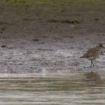 Grey Plover Lossie estuary 22 Sep 2017 David Main