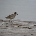 Grey Plover Lossie estuary 22 Sept 2014 Duncan Gibson