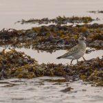 Grey Plover Lossie estuary 26 Sep 2017 David Main