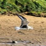 Grey Plover Lossie estuary 30 Sept 2014 Gordon Biggs 2