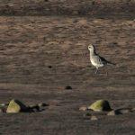 Grey Plover Spey estuary 3 March 2017 Martin Cook