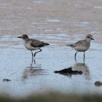 Grey Plovers Findhorn Bay 17 May 2017 Richard Somers Cocks 1