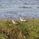 Grey Plovers Findhorn Bay 29 Sept 2014 Richard Somers Cocks 1