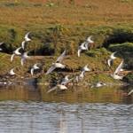 Grey Plovers Lossie estuary 10 Oct 2014 Gordon Biggs