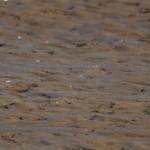 Grey Plovers Lossie estuary 26 Sept 2013 David Main
