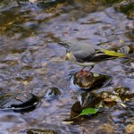 Grey Wagtail Cullen 14 May 2014 Lenny Simpson