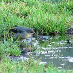 Grey Wagtail Fornighty 24 Dec 2015 Alison Ritchie