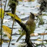 Grey Wagtail Loch of Blairs 29 Sep 2017 Alison Ritchie