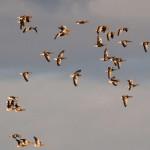 Greylag Geese Loch Spynie 6 Dec 2013 Gordon Biggs