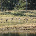 Greylag Geese Lossie Forest 19 Sep 2017 Martin Cook