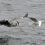 Heron and Herrging Gull Loch Spynie 4 May 2013 Gordon Biggs