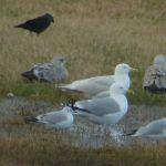 Herring Gull leucisitic Balormie 26 Feb 2017 Bob Proctor