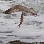 Herring Gull with fish Burghead 31 Jan 2015 Tony Backx