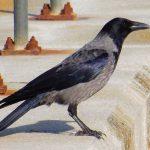 Hooded Crow Nairn 12 Mar 2017 Lisa Stewart