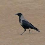 Hooded Crow Nairn 18 Dec 2015 Jack Harrison 2