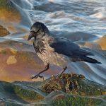 Hooded Crow Nairn 29 Jan 2018 Jack Harrison