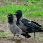 Hooded Crows Wester Golford 2 Jul 2017 Alison Ritchie P