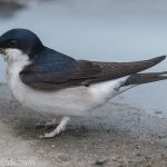 House Martin Lossiemouth 9 May 2018 Mike Crutch