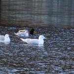 Iceland Gull 2 Loch Oire 11 Jan 2014 Gordon Biggs