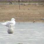 Iceland Gull Balormie 16 Apr 2015 Bob Proctor