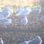 Iceland Gull Balormie 16 Dec 2017 Bob Proctor