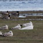 Iceland Gull Balormie pig farm 11 May 2015 David Main