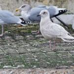 Iceland Gull Burghead 24 Nov 2014 Tony Backx 1