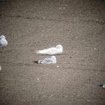 Iceland Gull Clochan 9 Apr 2017