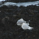 Iceland Gull Findochty 1 Feb 2015 Martin Cook P