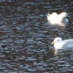 Iceland Gull Loch Oire 1 Feb 2014 Martin Cook