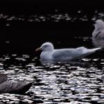 Iceland Gull Loch Oire 26 Feb 2014 David Main