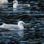 Iceland Gull Loch Oire 28 March 2013 David Devonport 2