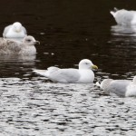 Iceland Gull Loch Oire 9 Mar 2014 Richard Somers Cocks