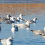Iceland Gull Loch Spynie 21 Feb 2018 Martin Cook