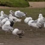 Iceland Gull Lossie estuary 11 Jul 2015 not CR bird David Main