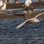 Iceland Gull Lossie estuary 12 Feb 2018 David Main 1