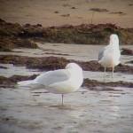 Iceland Gull Lossie estuary 15 Nov 2014 Bob Proctor
